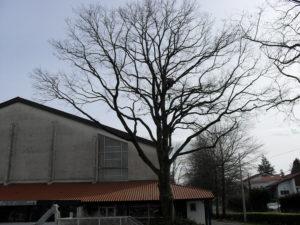 Taille douce des arbres en Pyrénées Atlantique 64 et Landes 40 515 - ECHEGARAY Ñaño élagage