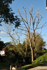 Taille en tête de chat des branches en Pyrénées Atlantique 64 et Landes 40 202 - ECHEGARAY Ñaño élagage